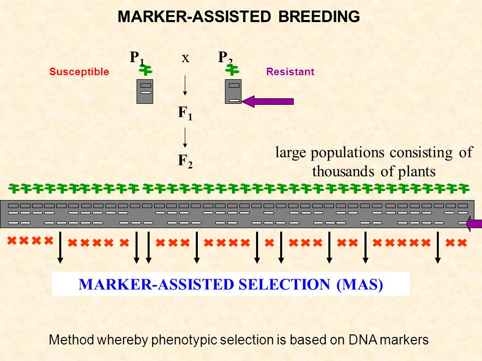 MARKER-ASSISTED BREEDING