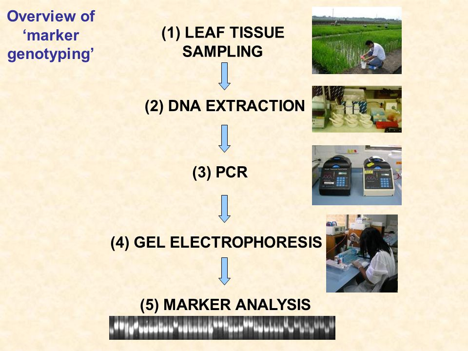 Overview of 'marker genotyping' (1) LEAF TISSUE SAMPLING