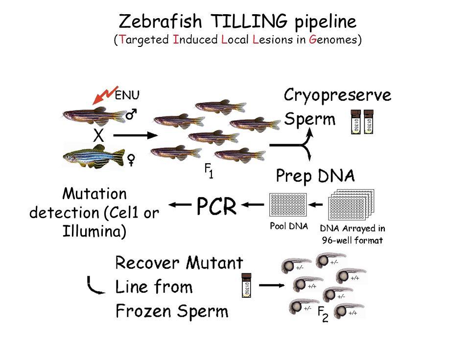 Zebrafish TILLING pipeline