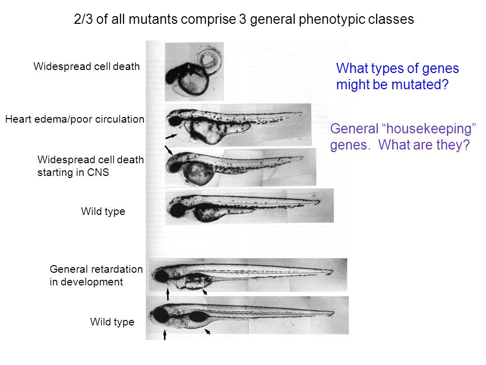 2/3 of all mutants comprise 3 general phenotypic classes