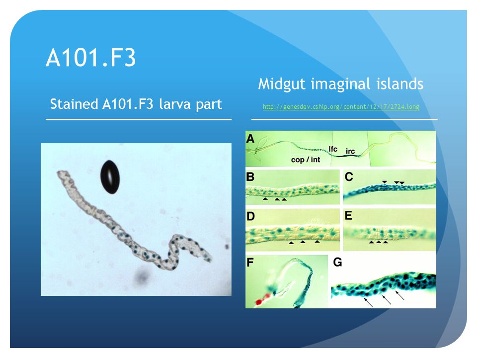 Midgut imaginal islands