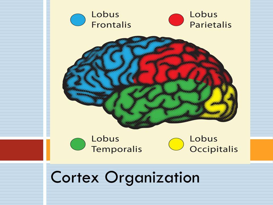 Cortex Organization