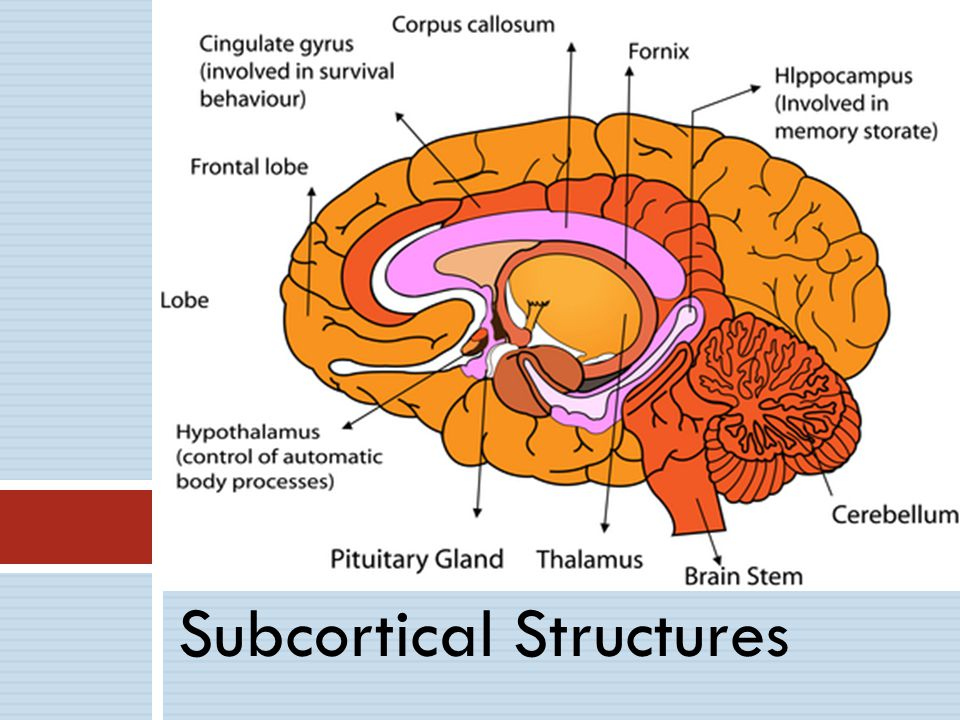 Subcortical Structures
