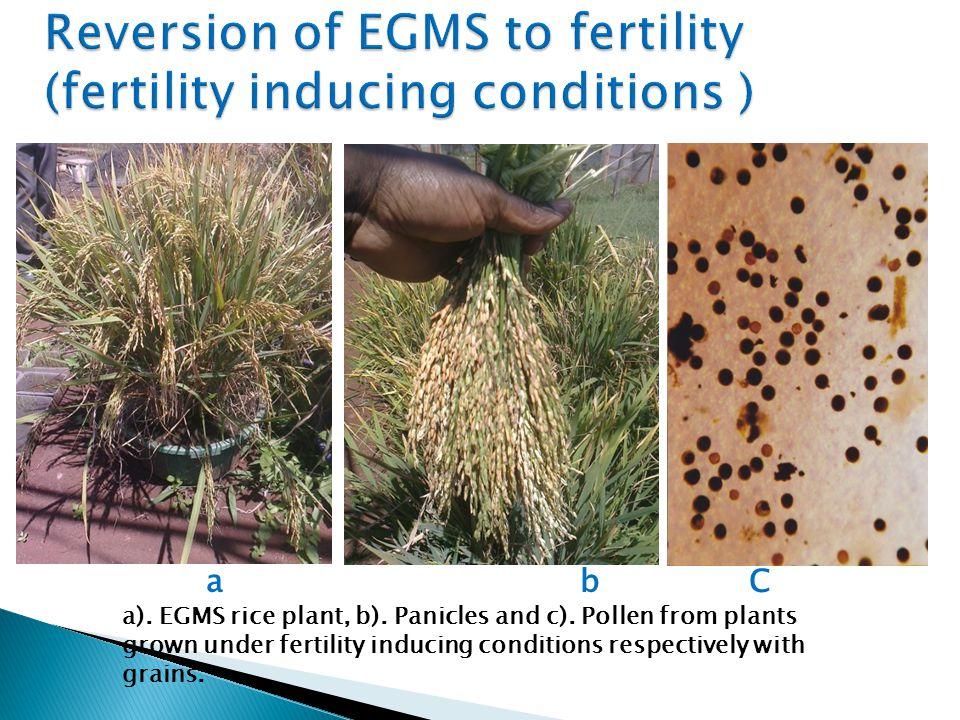 Reversion of EGMS to fertility (fertility inducing conditions )