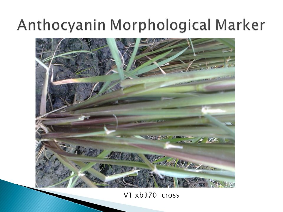 Anthocyanin Morphological Marker