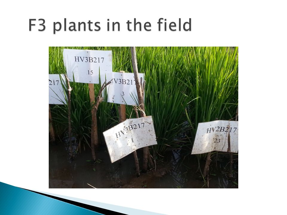 F3 plants in the field