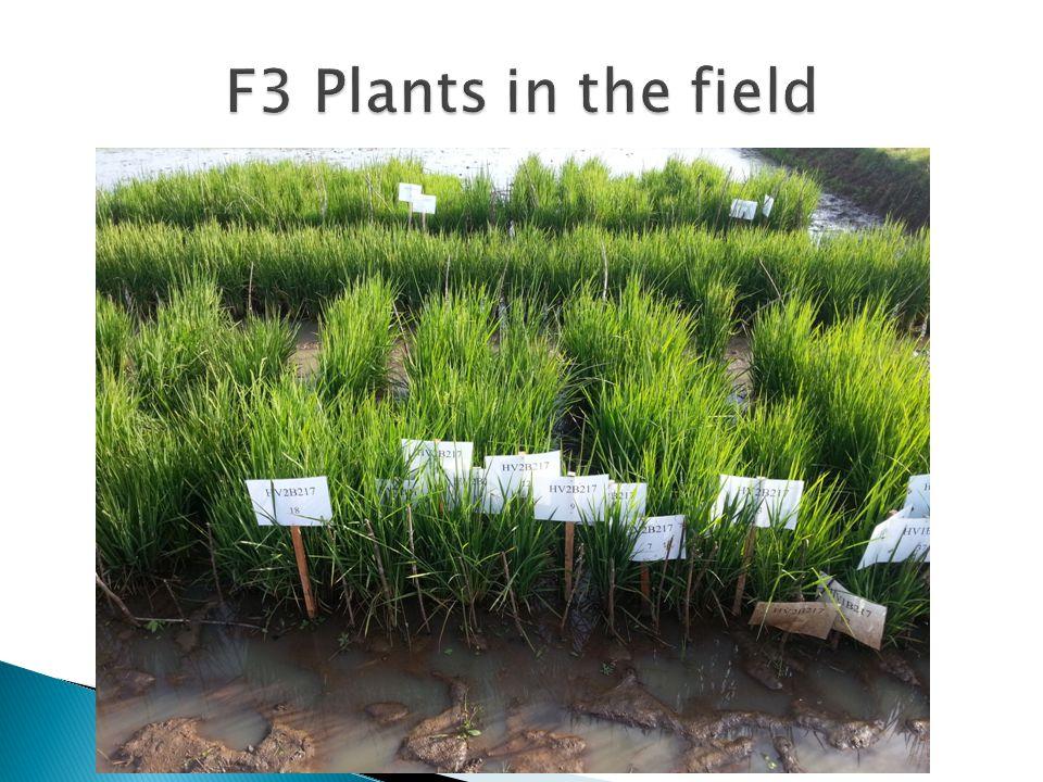 F3 Plants in the field
