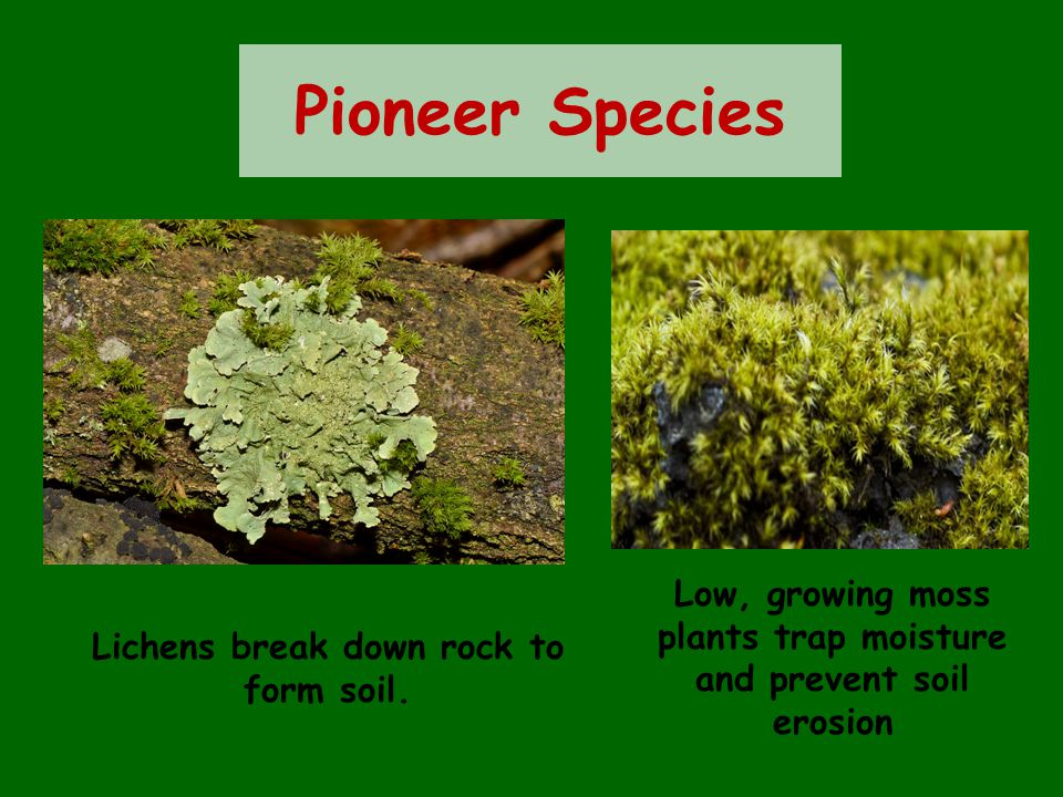 Pioneer Species Low, growing moss plants trap moisture and prevent soil erosion.