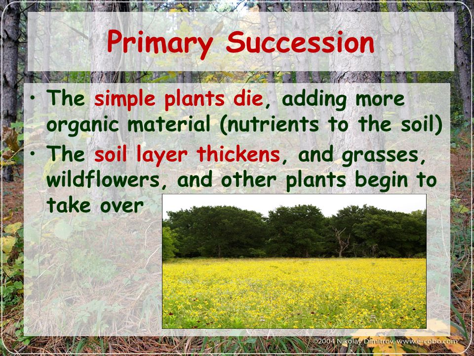 Primary Succession The simple plants die, adding more organic material (nutrients to the soil)
