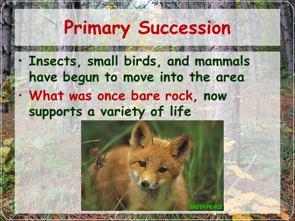 Primary Succession Insects, small birds, and mammals have begun to move into the area.