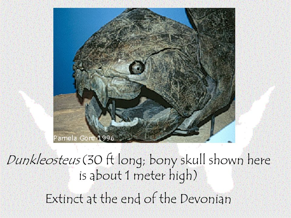 Dunkleosteus (30 ft long; bony skull shown here is about 1 meter high)