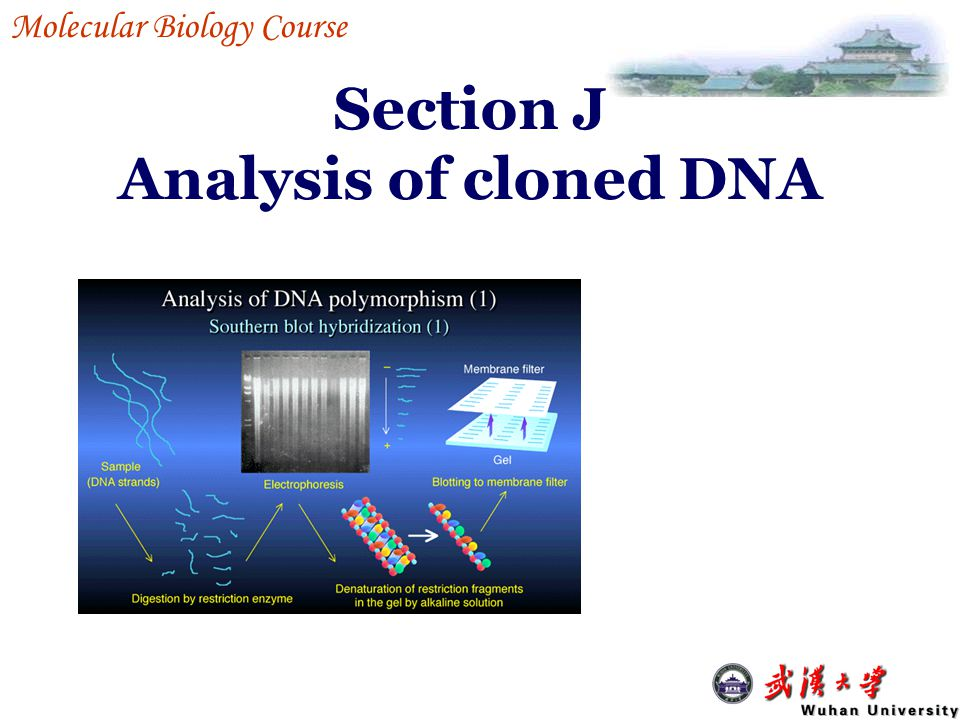 Section J Analysis of cloned DNA