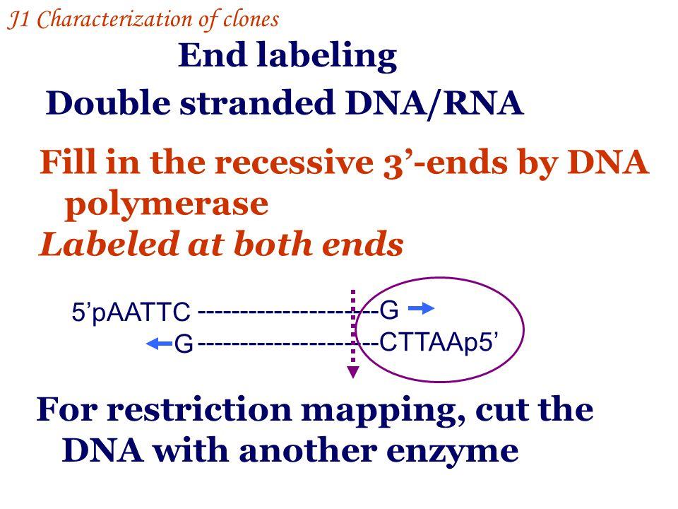 Double stranded DNA/RNA