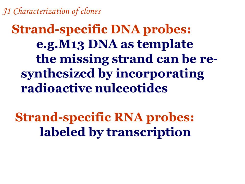 Strand-specific DNA probes: e.g.M13 DNA as template