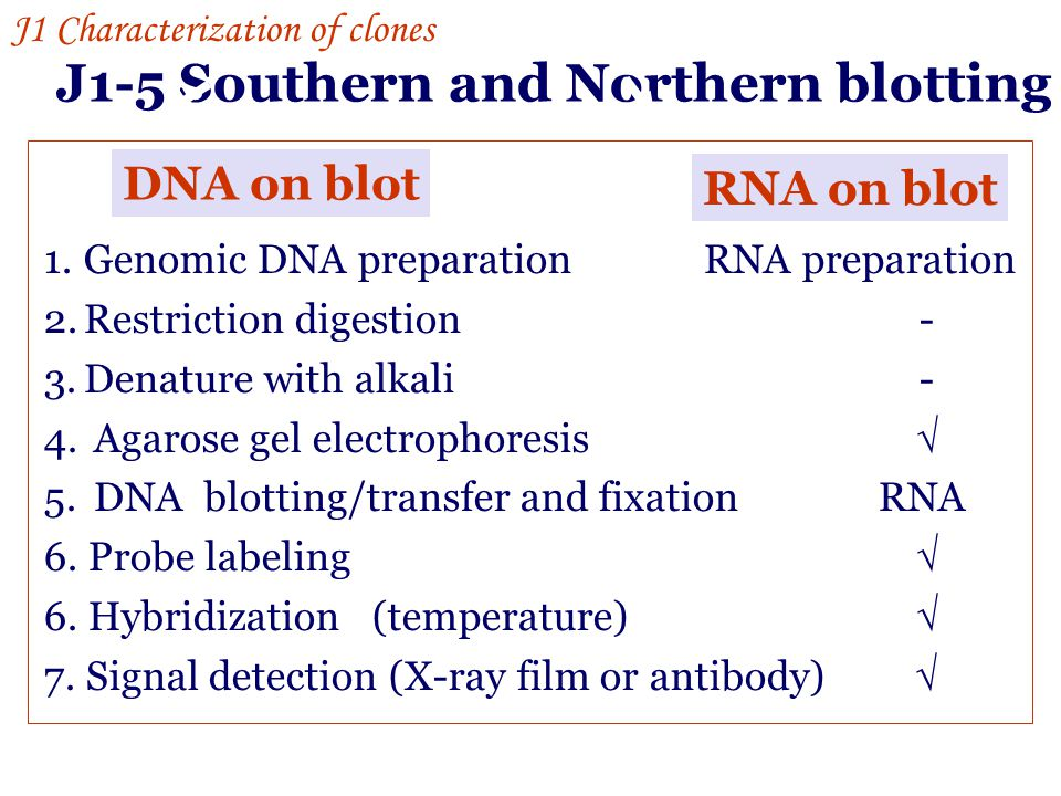 J1-5 Southern and Northern blotting
