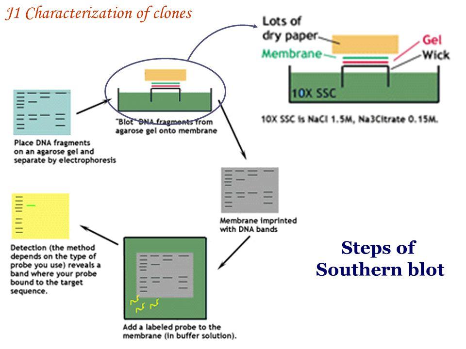 J1 Characterization of clones