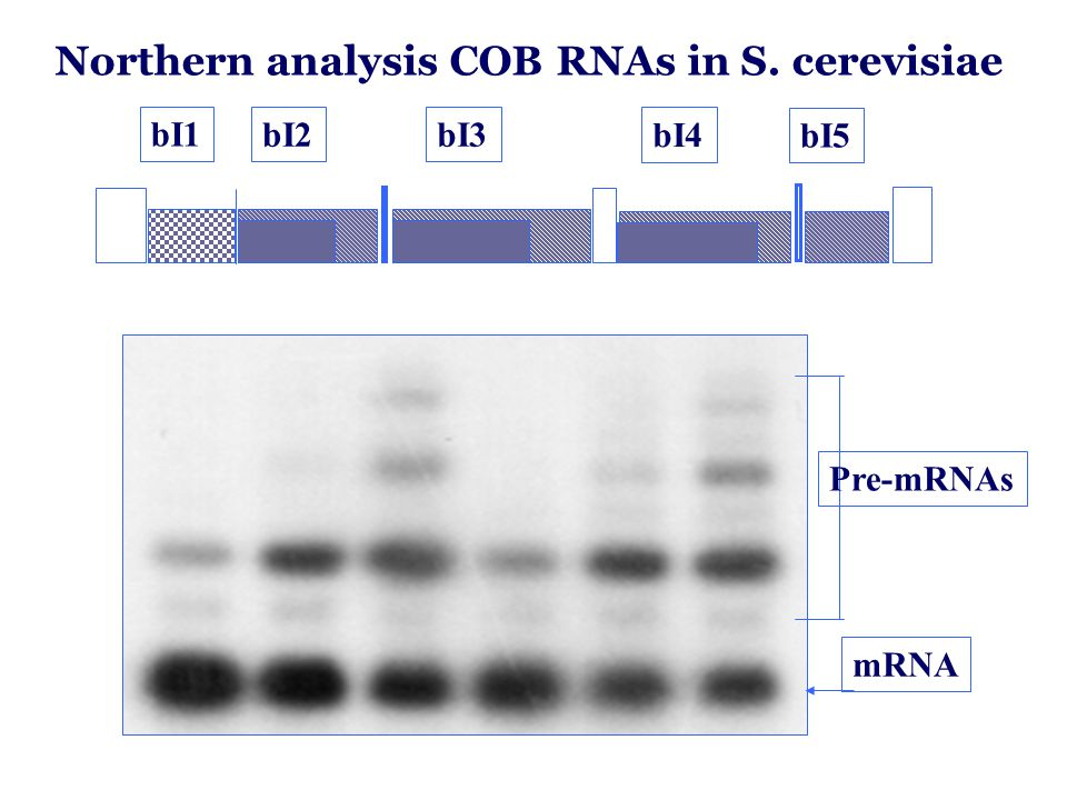 Northern analysis COB RNAs in S. cerevisiae