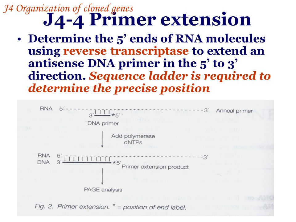 J4-4 Primer extension J4 Organization of cloned genes