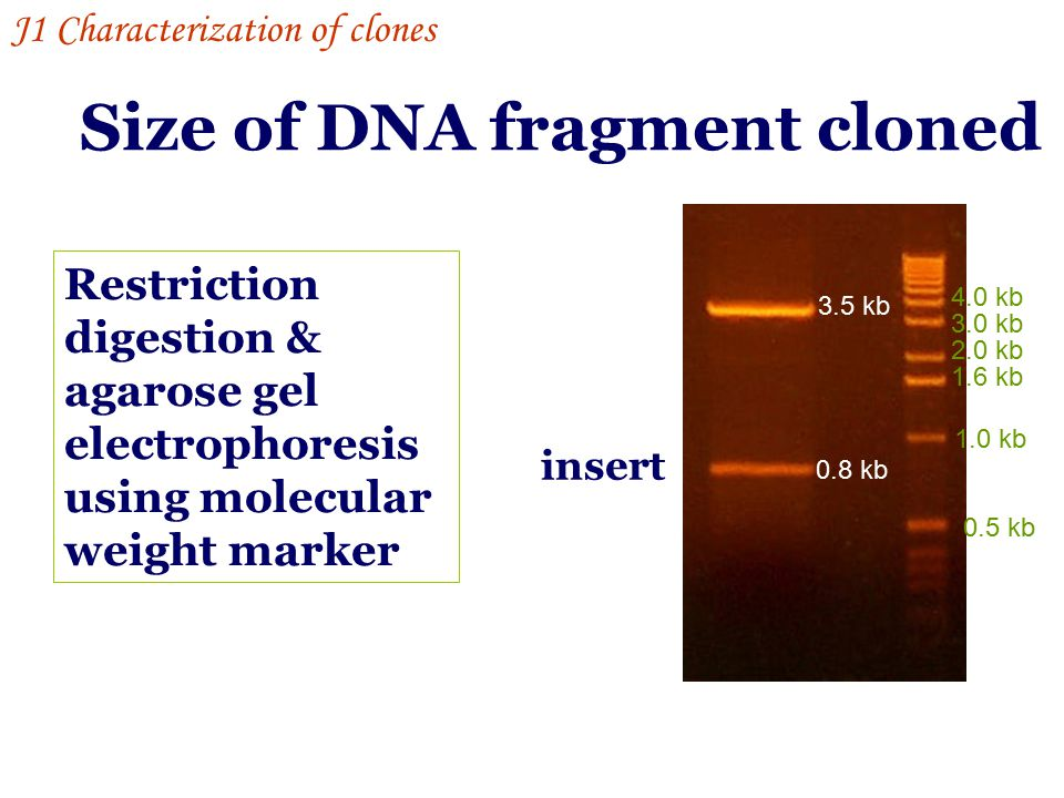Size of DNA fragment cloned
