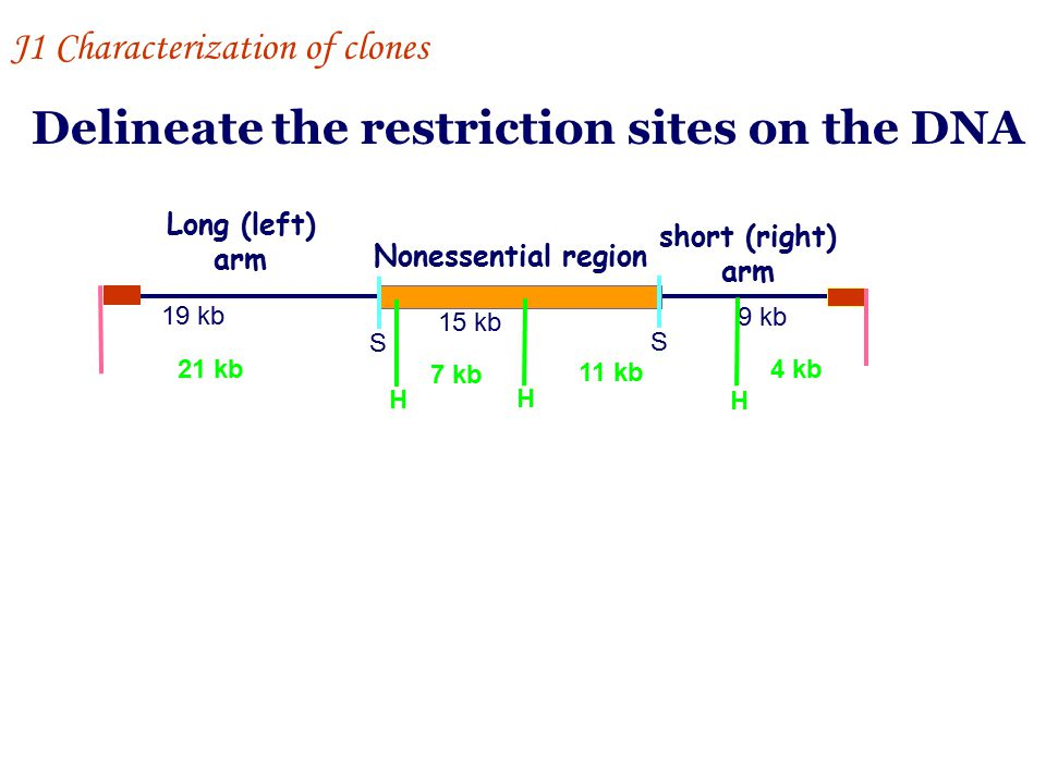 Delineate the restriction sites on the DNA