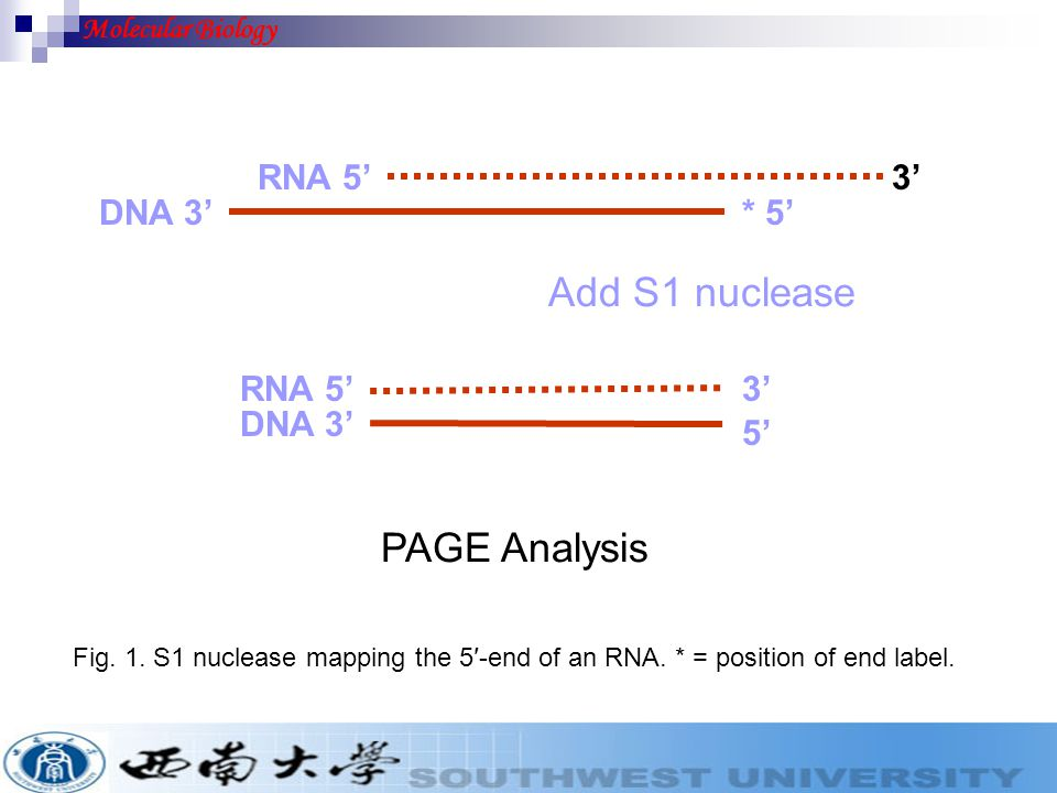 Add S1 nuclease PAGE Analysis RNA 5' 3' DNA 3' * 5' RNA 5' 3' DNA 3'