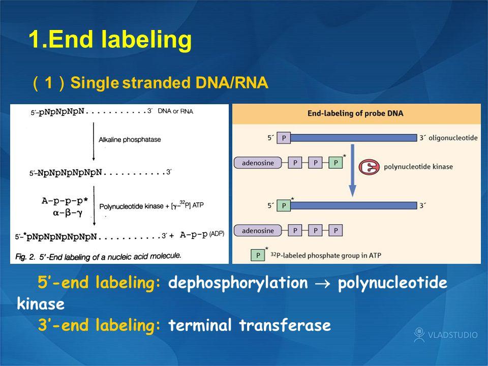 End labeling (1)Single stranded DNA/RNA