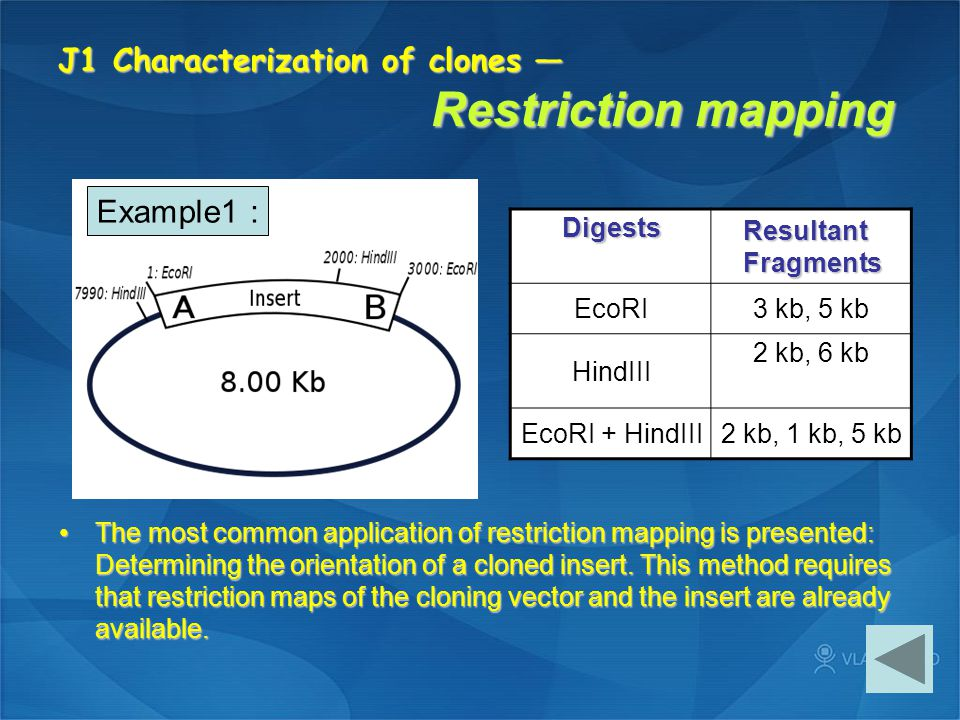 J1 Characterization of clones — Restriction mapping
