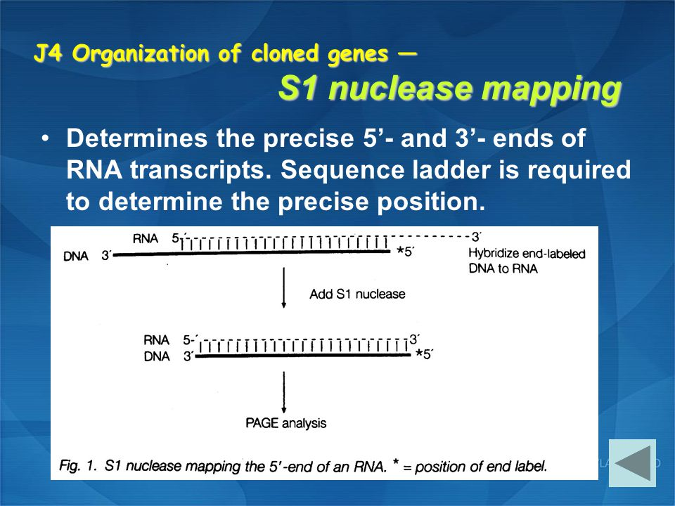 J4 Organization of cloned genes — S1 nuclease mapping
