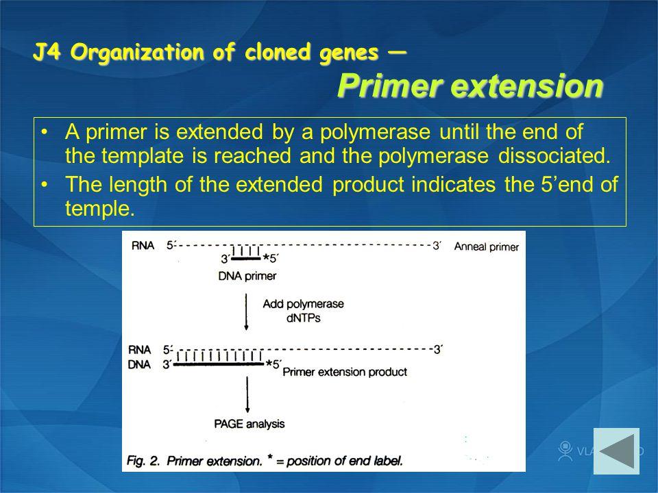 J4 Organization of cloned genes — Primer extension