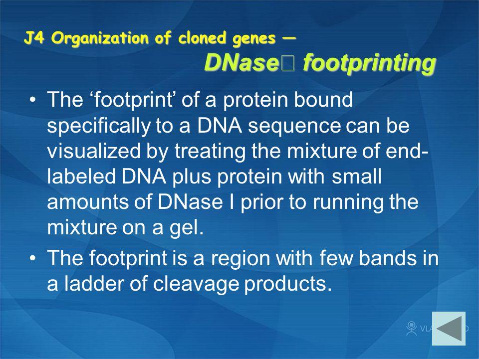J4 Organization of cloned genes — DNaseⅠ footprinting