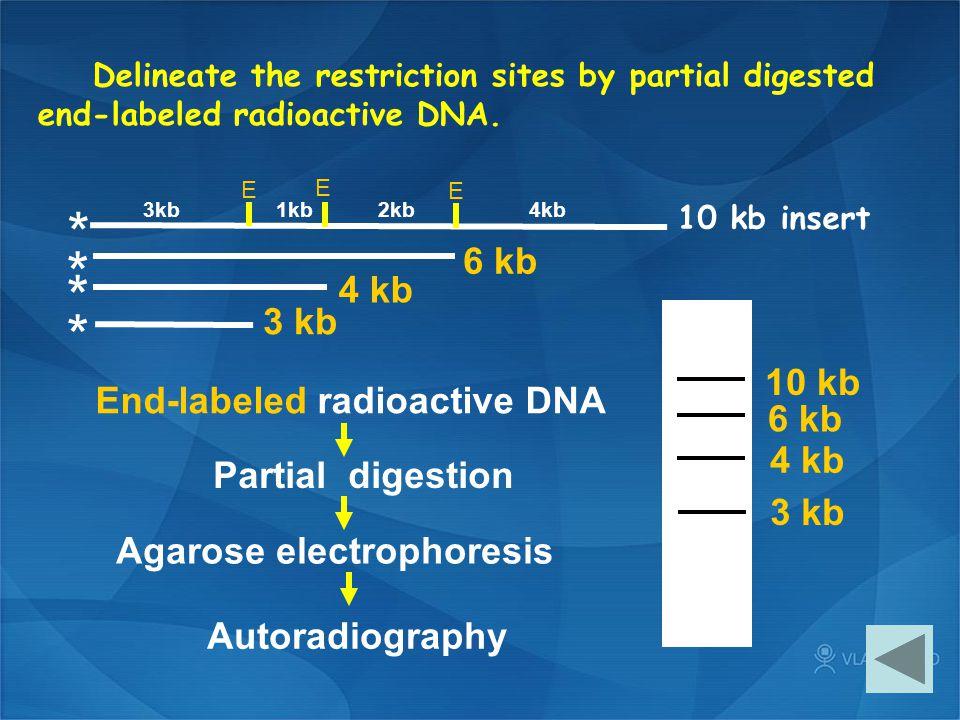 * * * * 6 kb 4 kb 3 kb 10 kb End-labeled radioactive DNA 6 kb 4 kb