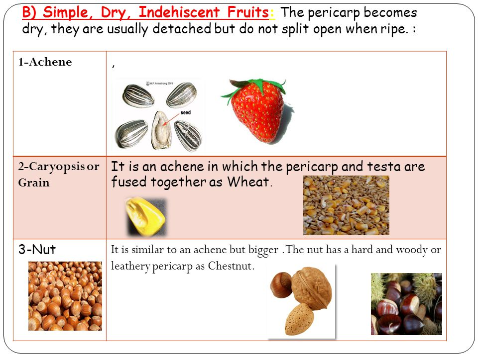 B) Simple, Dry, Indehiscent Fruits: The pericarp becomes dry, they are usually detached but do not split open when ripe. :