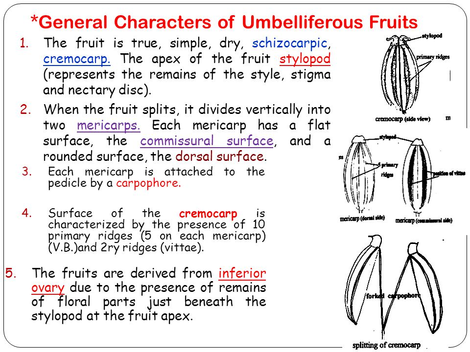 *General Characters of Umbelliferous Fruits
