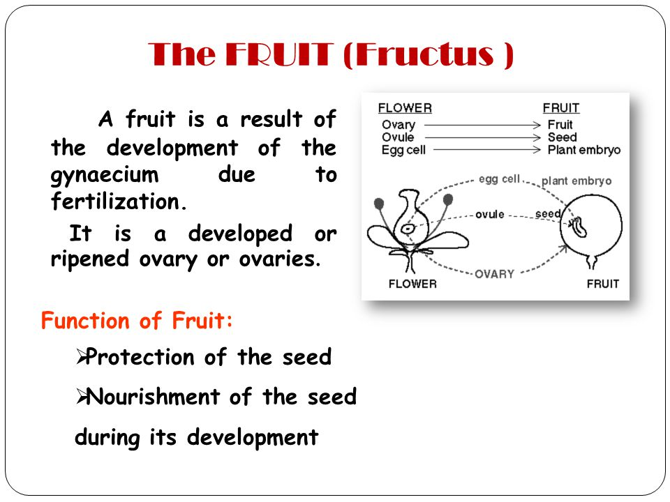 The FRUIT (Fructus ) A fruit is a result of the development of the gynaecium due to fertilization. It is a developed or ripened ovary or ovaries.