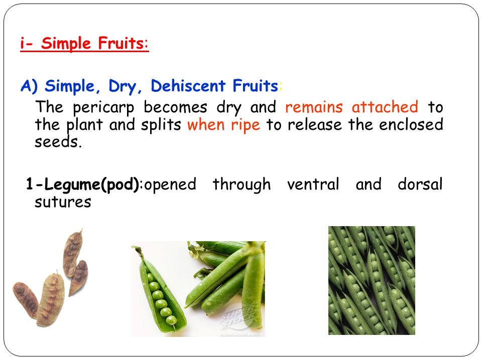 i- Simple Fruits: A) Simple, Dry, Dehiscent Fruits: The pericarp becomes dry and remains attached to the plant and splits when ripe to release the enclosed seeds.