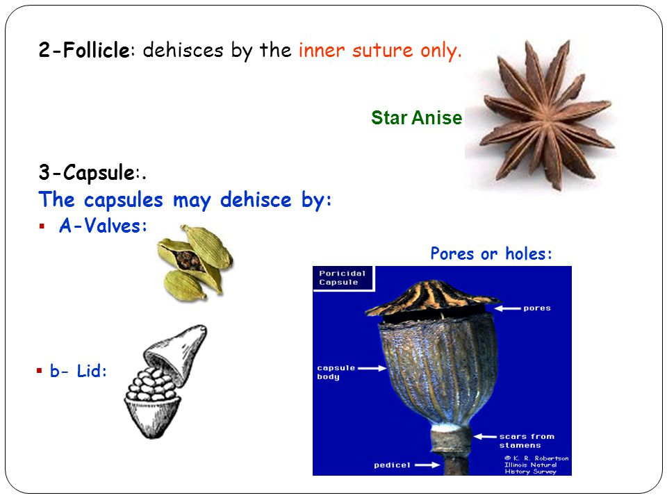 2-Follicle: dehisces by the inner suture only.