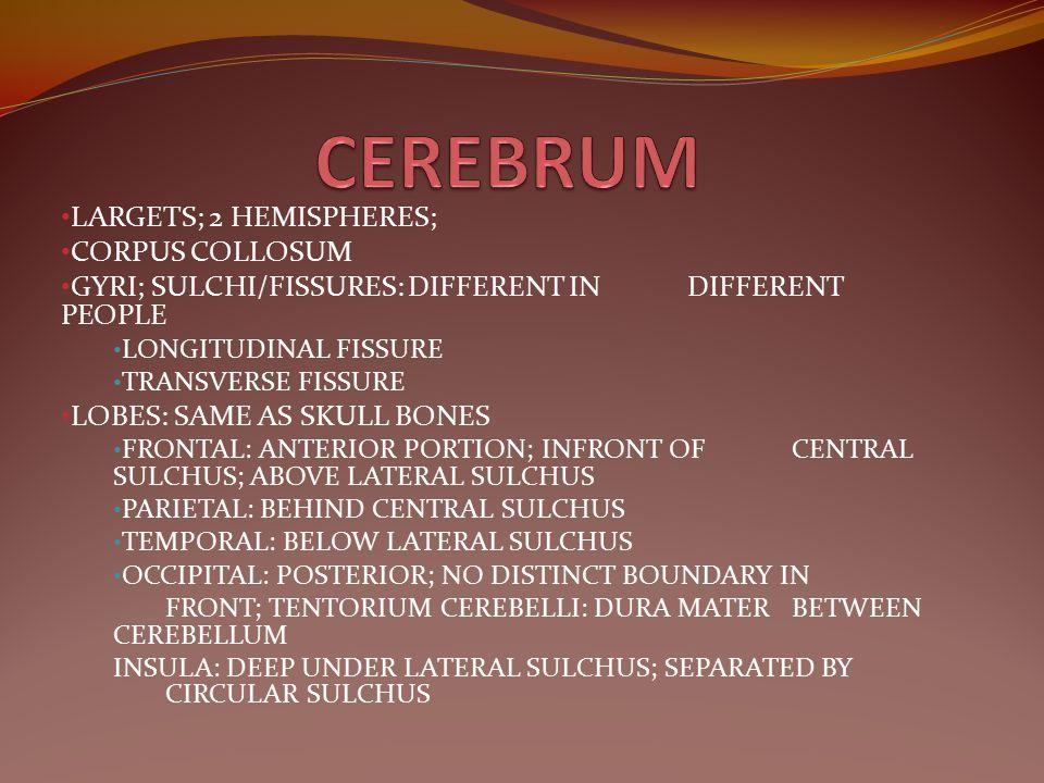 CEREBRUM LARGETS; 2 HEMISPHERES; CORPUS COLLOSUM