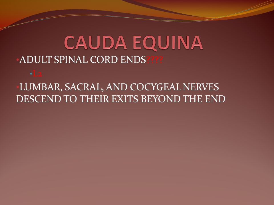 CAUDA EQUINA ADULT SPINAL CORD ENDS