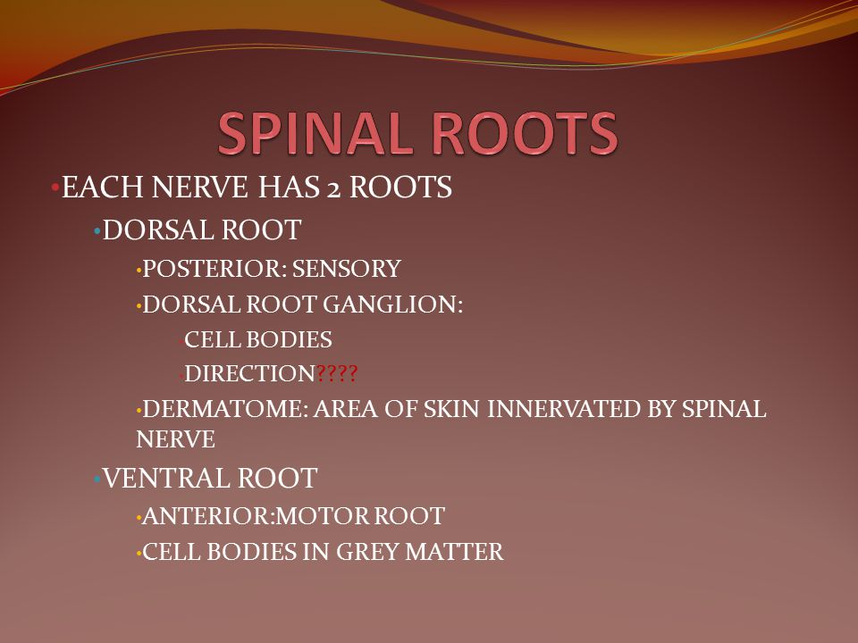 SPINAL ROOTS EACH NERVE HAS 2 ROOTS DORSAL ROOT VENTRAL ROOT