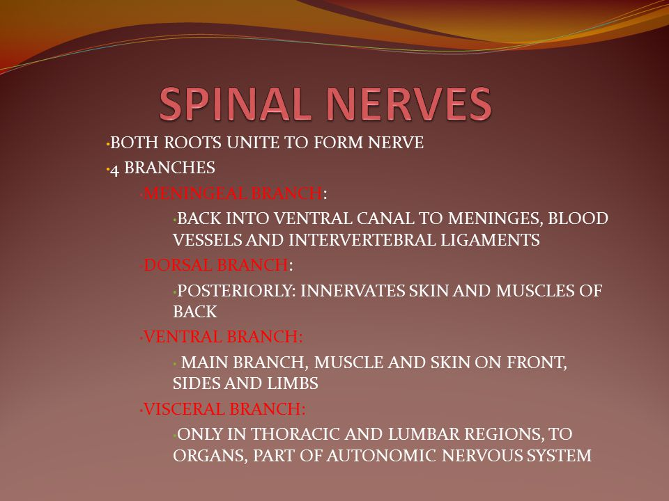 SPINAL NERVES BOTH ROOTS UNITE TO FORM NERVE 4 BRANCHES