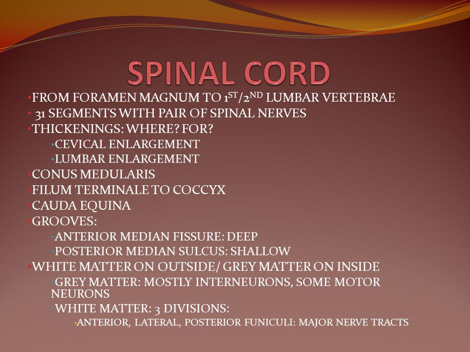 SPINAL CORD FROM FORAMEN MAGNUM TO 1ST/2ND LUMBAR VERTEBRAE