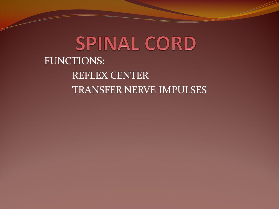 FUNCTIONS: REFLEX CENTER TRANSFER NERVE IMPULSES