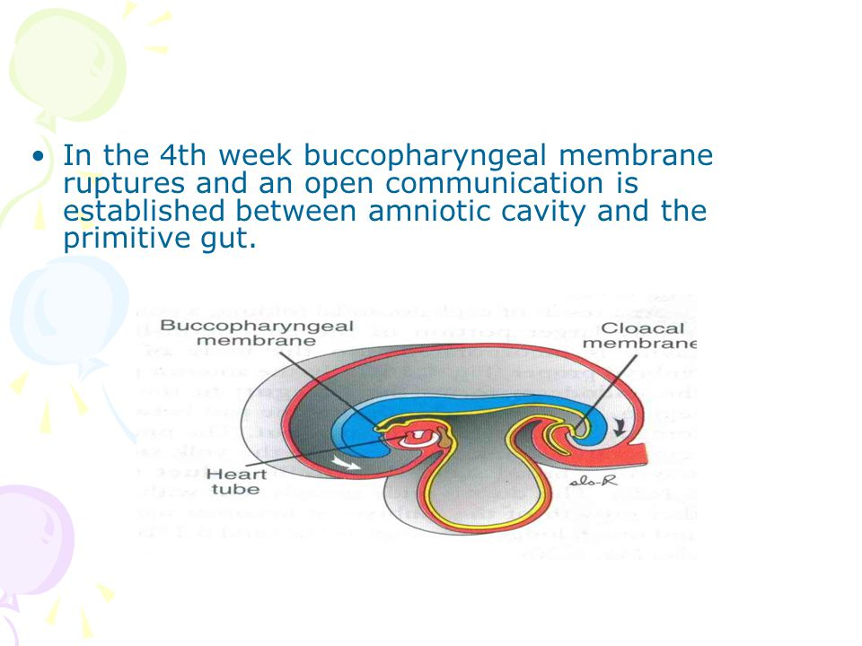 In the 4th week buccopharyngeal membrane ruptures and an open communication is established between amniotic cavity and the primitive gut.