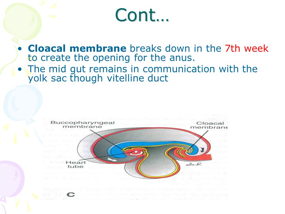 Cont… Cloacal membrane breaks down in the 7th week to create the opening for the anus.