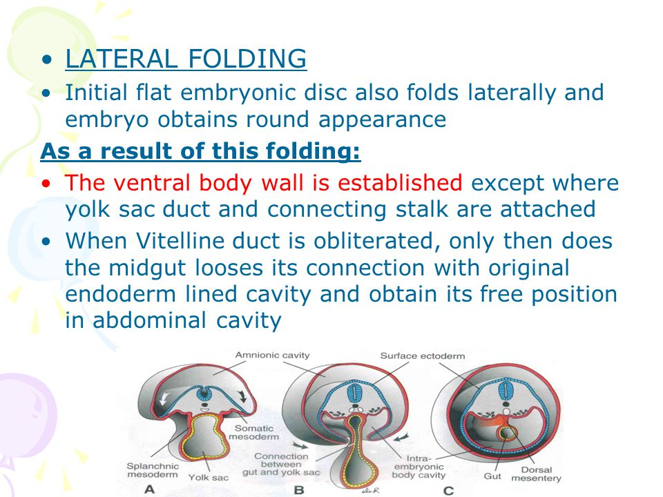 LATERAL FOLDING Initial flat embryonic disc also folds laterally and embryo obtains round appearance.
