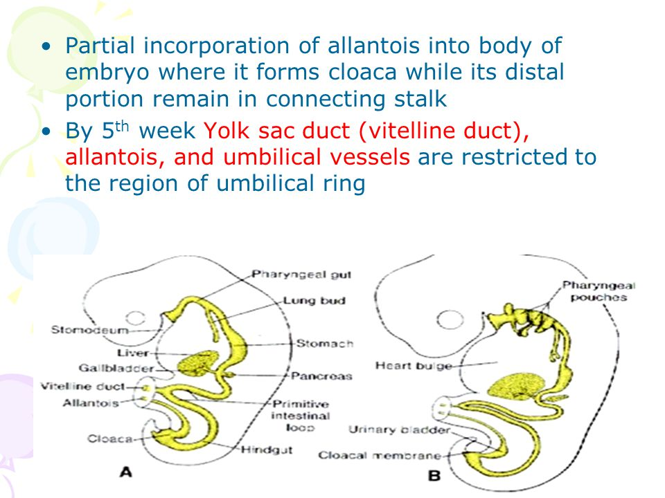 Partial incorporation of allantois into body of embryo where it forms cloaca while its distal portion remain in connecting stalk