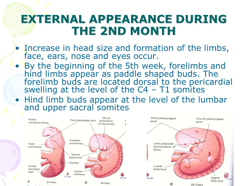 EXTERNAL APPEARANCE DURING THE 2ND MONTH