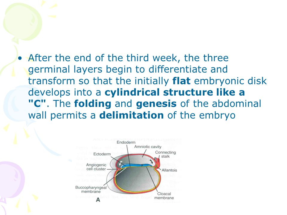 After the end of the third week, the three germinal layers begin to differentiate and transform so that the initially flat embryonic disk develops into a cylindrical structure like a C .