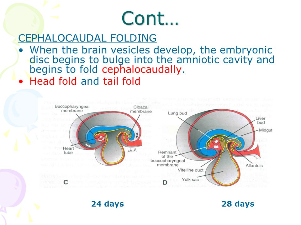 Cont… CEPHALOCAUDAL FOLDING