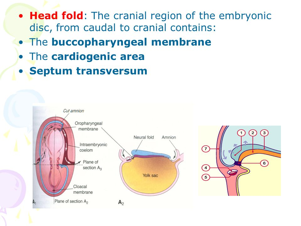 Head fold: The cranial region of the embryonic disc, from caudal to cranial contains: